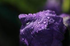 Iris púrpura floreciente Foto de archivo libre de regalías