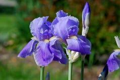 Iris púrpura (Iridaceae) en un día de primavera Imágenes de archivo libres de regalías