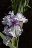 Iris púrpura y blanco Fotos de archivo