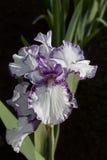 Iris púrpura y blanco Imagen de archivo