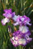 Iris púrpuras en Parc de floral París Fotos de archivo libres de regalías