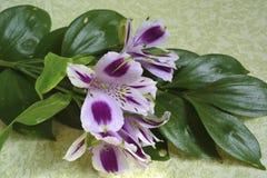 Iris púrpuras y blancos Fotos de archivo libres de regalías