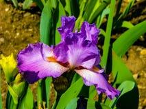 Iris p?rpura hermoso en el d?a soleado - detalle en la flor foto de archivo libre de regalías