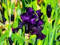 Iris p?rpura hermoso en el d?a soleado - detalle en la flor imágenes de archivo libres de regalías