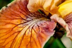 Iris Pacifica Abstract Stock Photo