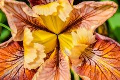 Iris Pacifica Stock Image