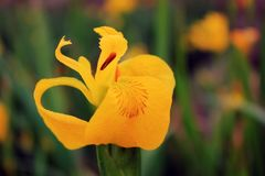 Iris paleyellow in Galicia, Spain. Flora of Galicia, Spain Royalty Free Stock Photo