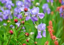 Iris, peonía y Coral Bells Imagen de archivo libre de regalías