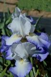 Brook Flower Bearded Iris royalty free stock images