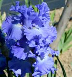 Metoleus Blue Bearded Iris stock photos