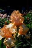 Piping Hot Bearded Iris stock photo