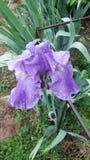 Iris perfecto fotografía de archivo libre de regalías