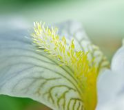 Iris petal. S are incredibly beautiful and tender. Their beauty is mesmerizing Stock Image