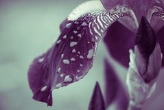 Iris petal with raindrops. Closeup with toned effect stock images