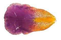 Iris petal stock photos