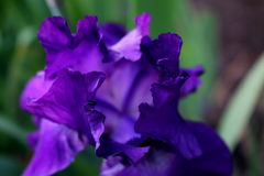 Iris Petals roxa Imagem de Stock