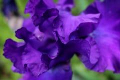 Iris Petals roxa Fotografia de Stock