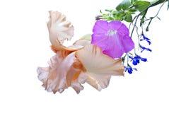 Iris, Petunia, Lobelia. An apricot colored bearded iris, pink petunia blossom and spray of blue lobelia flowers against a white background Stock Photos