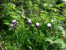 Iris plant in garden. Flower farms and garden in Furano Hokkaido Royalty Free Stock Photo