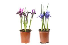 Iris plants in pots. Reticulated iris flowers in pots isolated against white stock photo