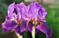 Iris pourpré Image stock
