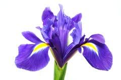 Iris pourpré Images libres de droits