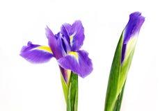 Iris pourpré Photographie stock