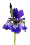 Iris pourpré Photos libres de droits