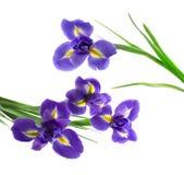 Iris pourpré et jaune Photo libre de droits