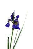 Iris pourpré simple Photos stock