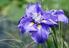 Iris pourpré vibrant avec la goutte de rosée Photographie stock