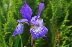 Iris pourpre Photo libre de droits