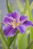 Iris pourpre Image stock