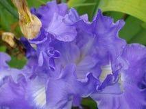Iris pourpre Photographie stock