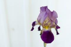 Iris pourpre Photos stock