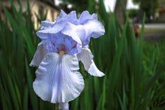Iris pourpre photographie stock libre de droits