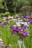 Iris pourpre, arborétum de Wilmington Photographie stock libre de droits