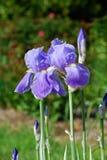 Iris pourpre (Iridaceae) une journée de printemps Image stock