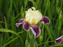 Iris pourpre jaune simple Images stock