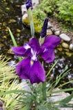 Iris pourpre s'élevant dans le jardin Images libres de droits