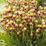 Iris pourpres et jaunes Photo libre de droits