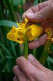 Iris pseudacorus Stockbild
