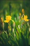 Iris pseudacorus also known as yellow flag iris Stock Photography