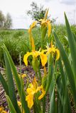 Iris pseudacorus beautiful yellow flowers, green leaves, grow and bloom in swamp, nature flora closeup photo royalty free stock photography