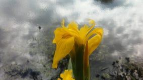 Iris Pseudacorus Blossoming Near Lake an der Niederlassung Brook Park in Jersey City, NJ Lizenzfreie Stockfotografie