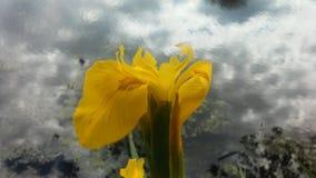 Iris Pseudacorus Blossoming Near Lake an der Niederlassung Brook Park in Jersey City, NJ Lizenzfreie Stockfotos