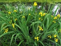 Iris pseudacorus Blumen Stockbilder