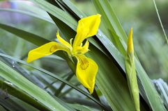 Iris pseudacorus in der Blüte, wilde Blumen Stockbilder