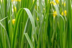 Iris pseudacorus. green sharp stalks of wild iris Iridaceae with yellow flowers. Green sharp stalks of wild iris Iridaceae with yellow flowers. natural plant royalty free stock photography