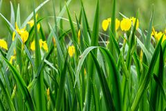 Iris pseudacorus. green sharp stalks of wild iris Iridaceae with yellow flowers. Green sharp stalks of wild iris Iridaceae with yellow flowers. natural plant royalty free stock image